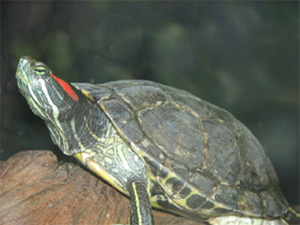 Red eared slider 1 copy